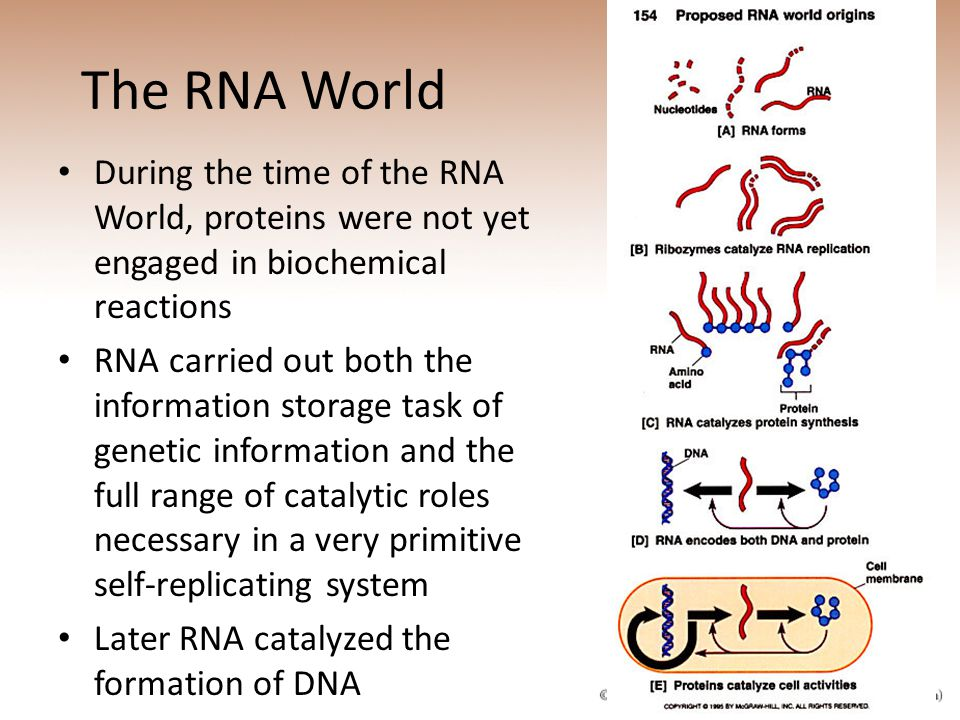 The RNA World During the time of the RNA World, proteins were not yet engaged in biochemical reactions.