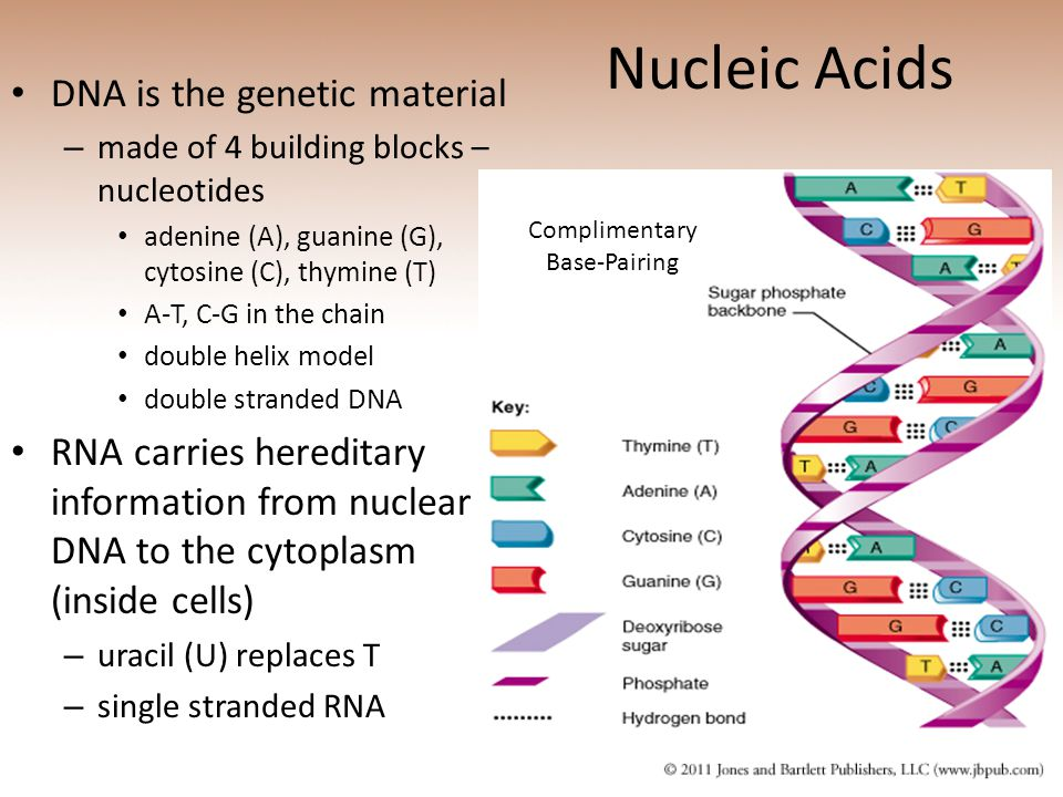 Nucleic Acids DNA is the genetic material