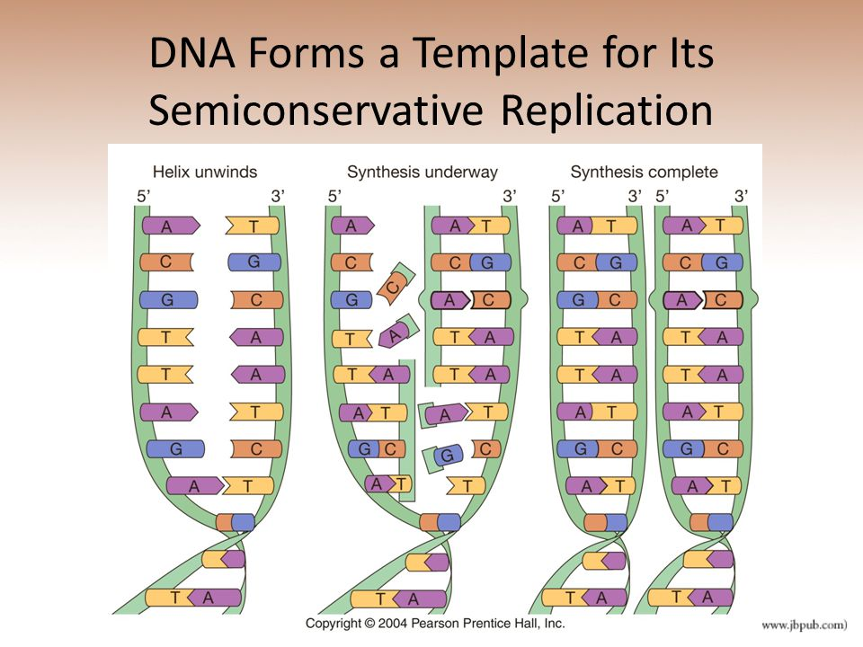 DNA Forms a Template for Its Semiconservative Replication