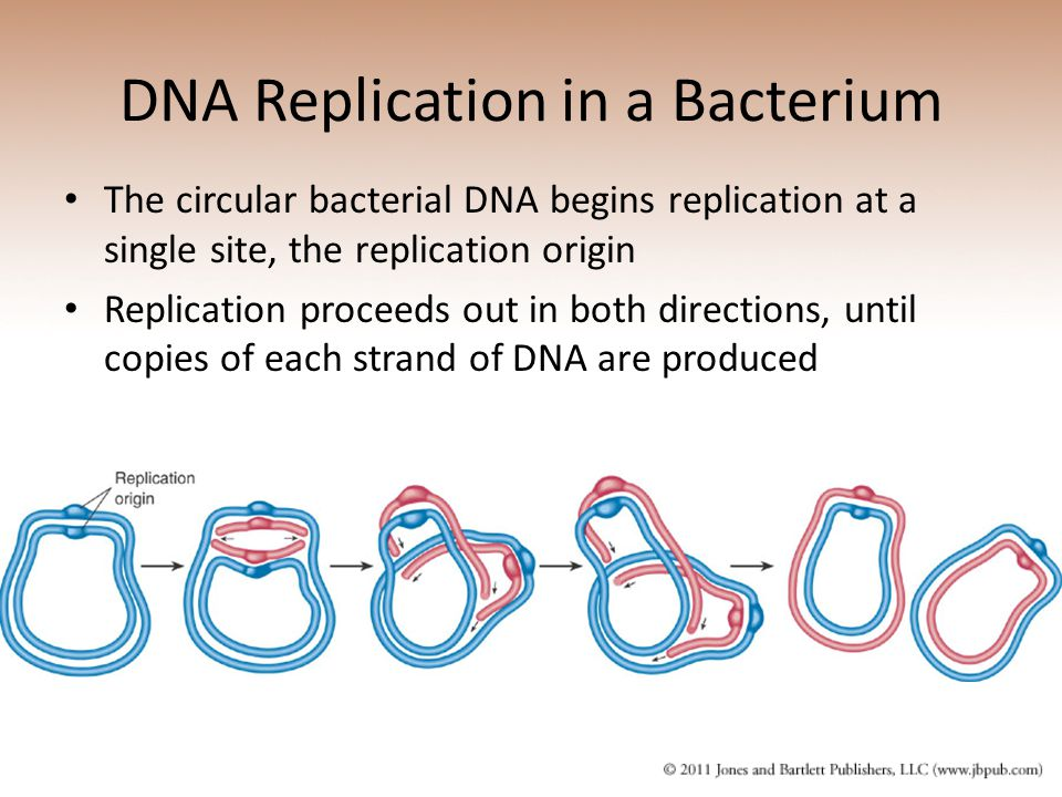 DNA Replication in a Bacterium