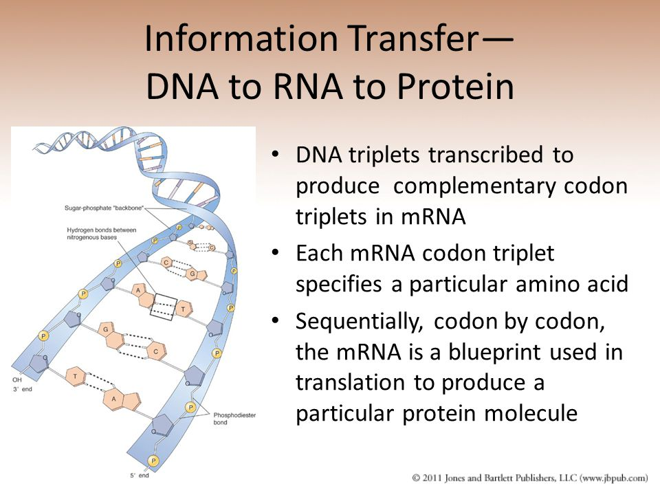 Information Transfer— DNA to RNA to Protein