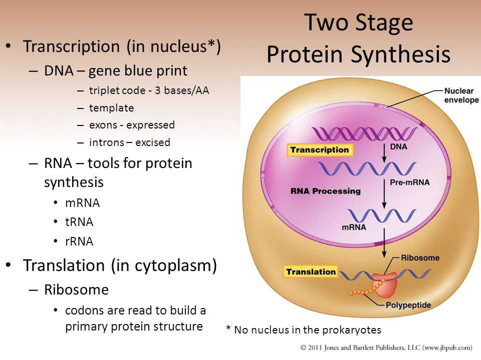 Two Stage Protein Synthesis