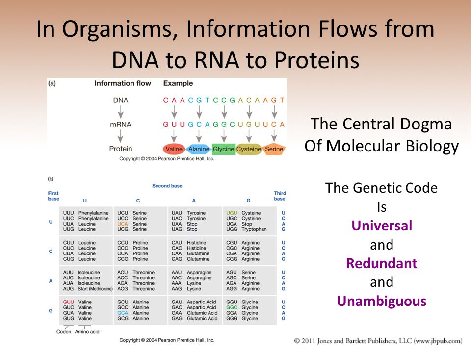 In Organisms, Information Flows from DNA to RNA to Proteins