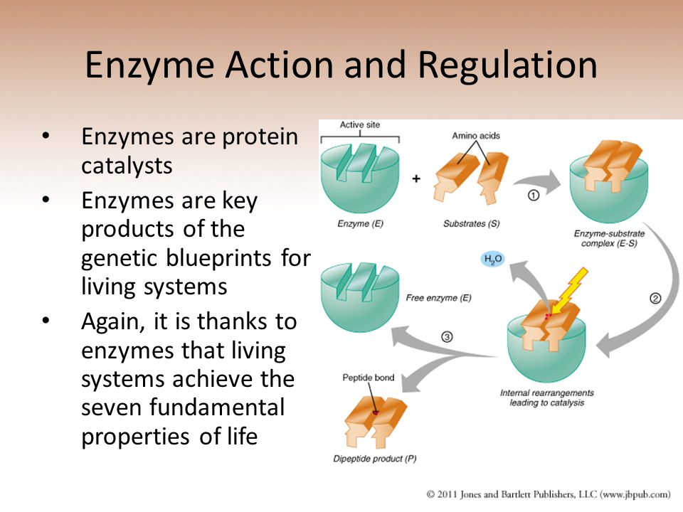Enzyme Action and Regulation