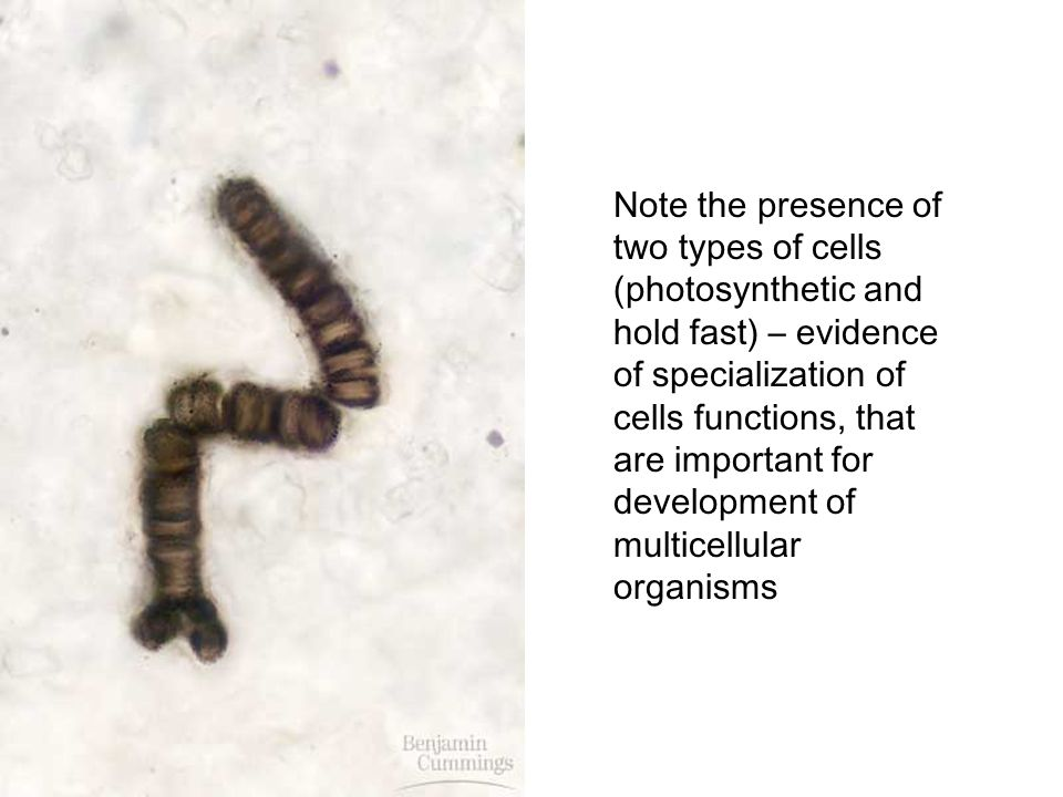 Note the presence of two types of cells (photosynthetic and hold fast) – evidence of specialization of cells functions, that are important for development of multicellular organisms