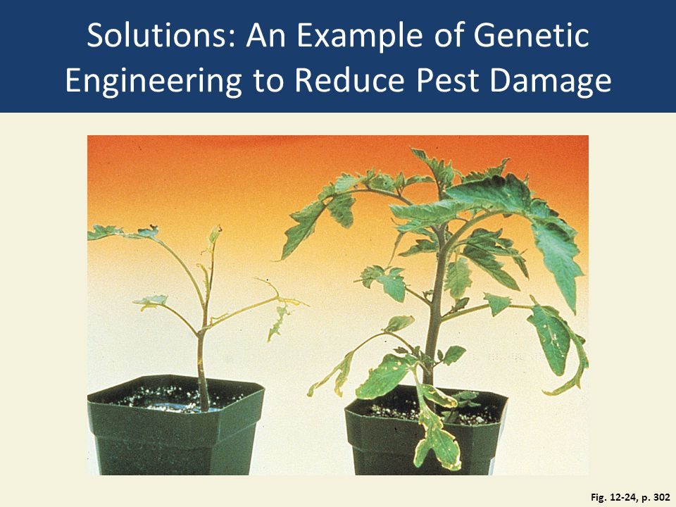 Solutions: An Example of Genetic Engineering to Reduce Pest Damage