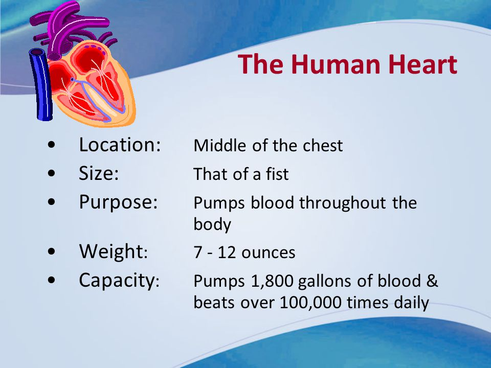 The Human Heart Location: Middle of the chest Size: That of a fist