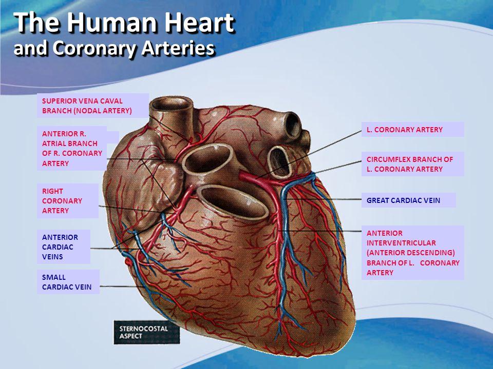 The Human Heart and Coronary Arteries