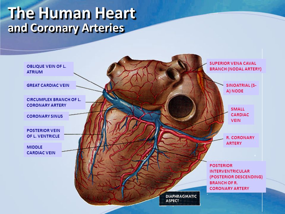 The Human Heart and Coronary Arteries