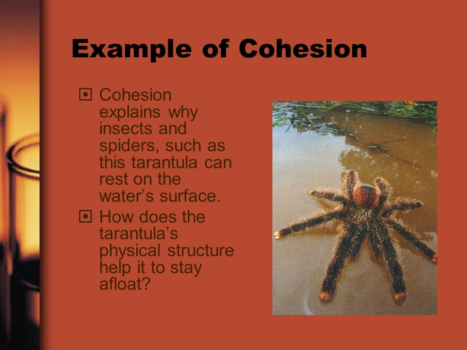 Example of Cohesion Cohesion explains why insects and spiders, such as this tarantula can rest on the water's surface.