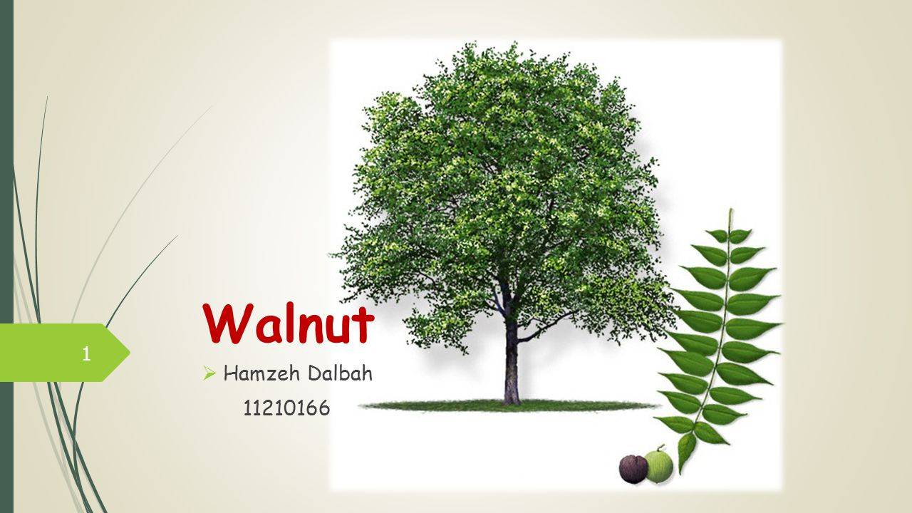 Walnut Hamzeh Dalbah 11210166