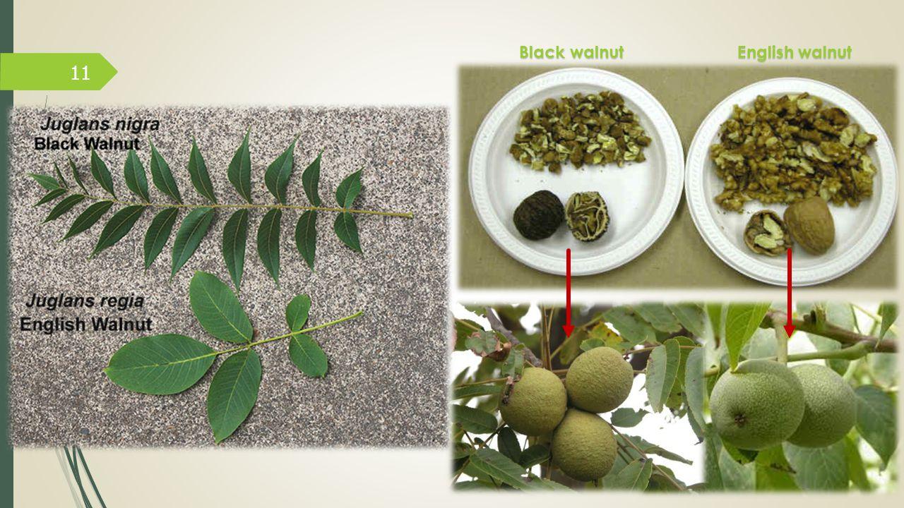 Black walnut English walnut