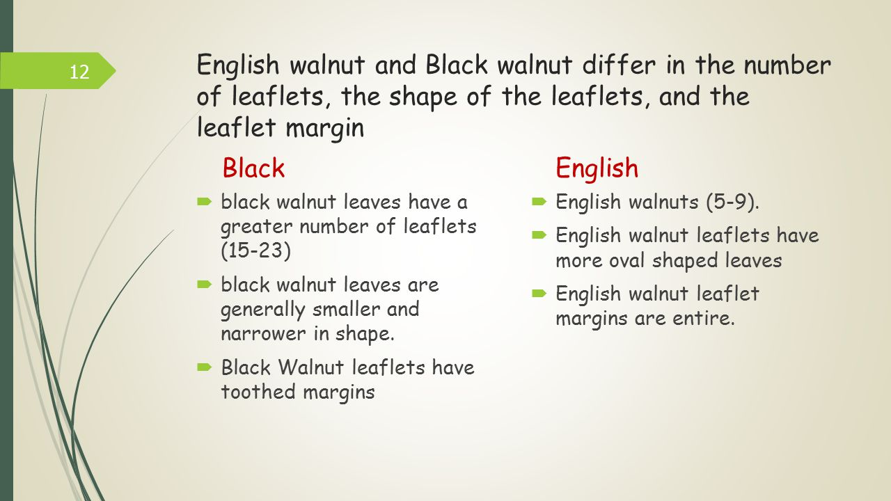 English walnut and Black walnut differ in the number of leaflets, the shape of the leaflets, and the leaflet margin