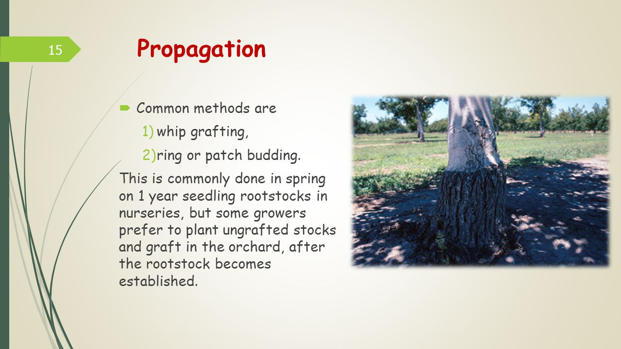Propagation Common methods are whip grafting, ring or patch budding.