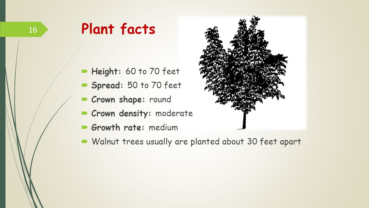 Plant facts Height: 60 to 70 feet Spread: 50 to 70 feet