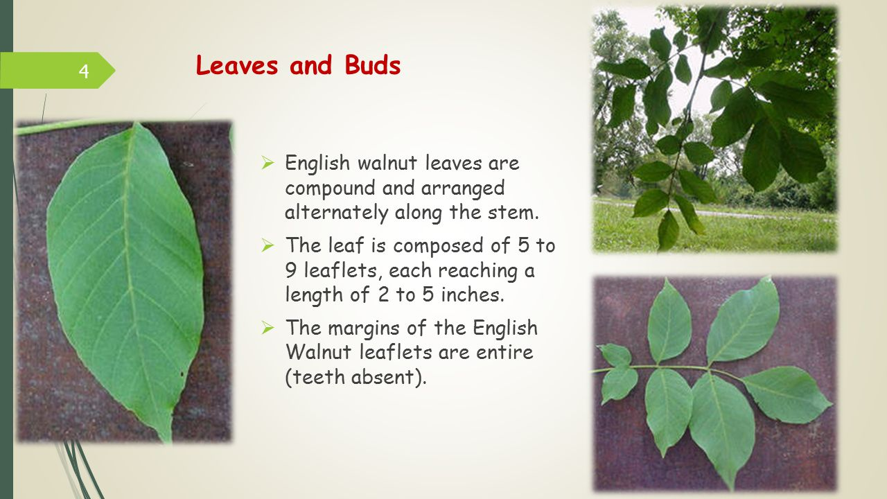 Leaves and Buds English walnut leaves are compound and arranged alternately along the stem.