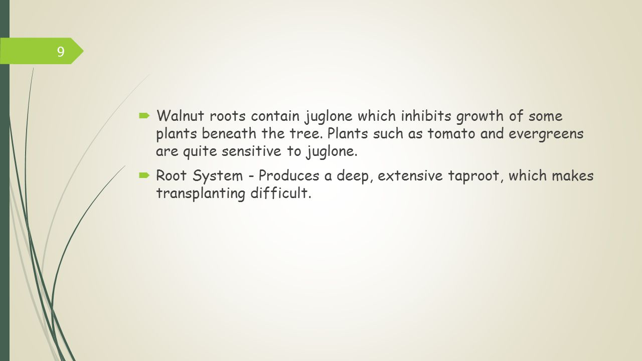 Walnut roots contain juglone which inhibits growth of some plants beneath the tree. Plants such as tomato and evergreens are quite sensitive to juglone.