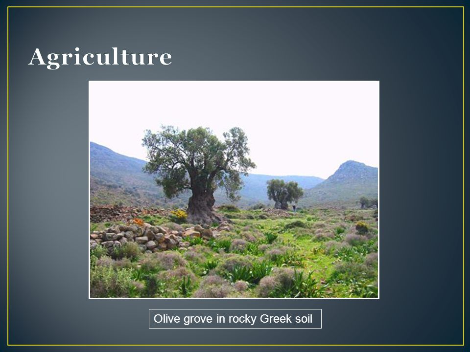 Agriculture Olive grove in rocky Greek soil