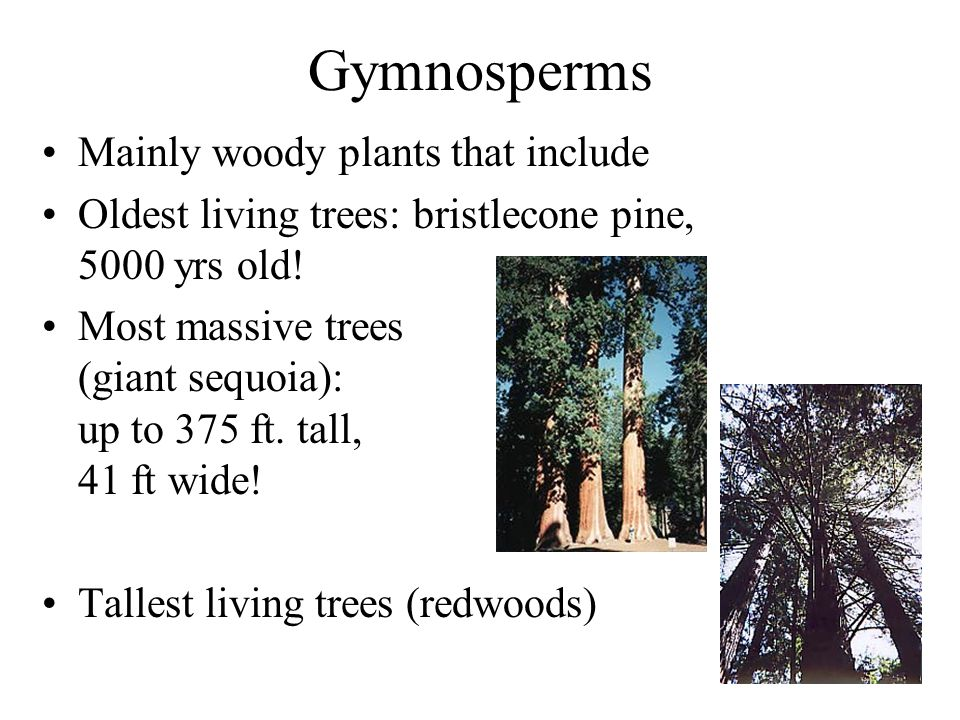 Gymnosperms Mainly woody plants that include