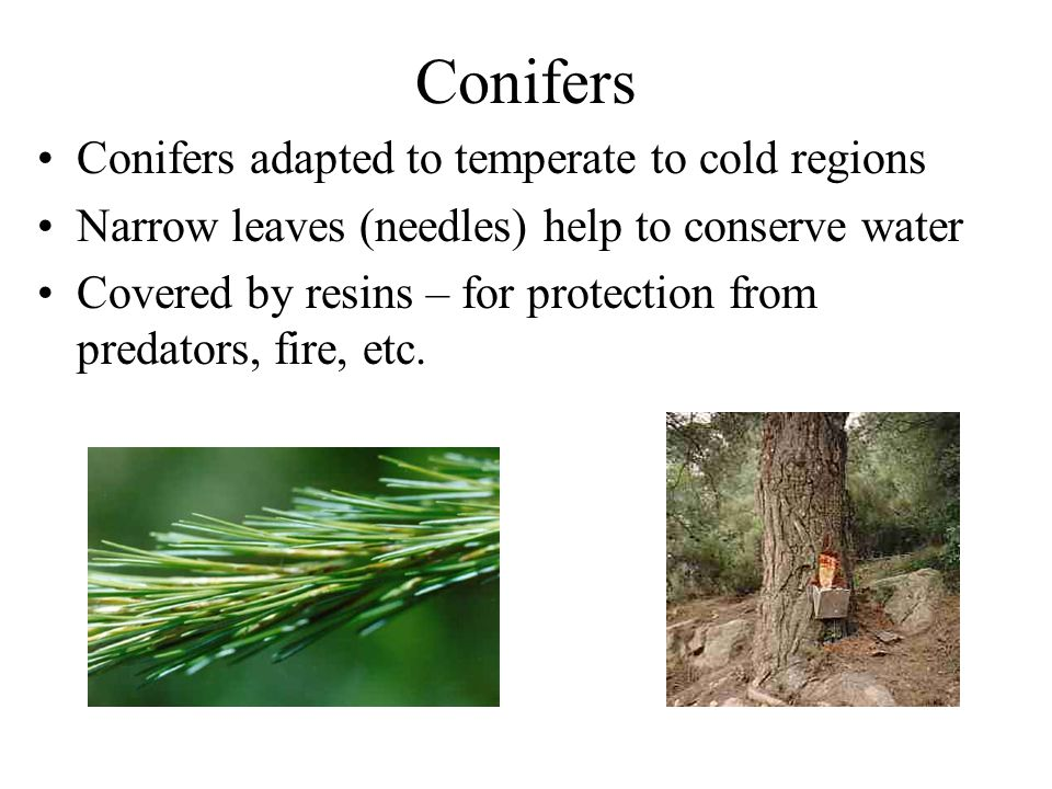 Conifers Conifers adapted to temperate to cold regions