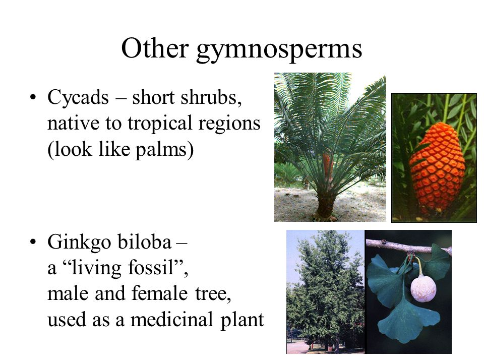 Other gymnosperms Cycads – short shrubs, native to tropical regions (look like palms)