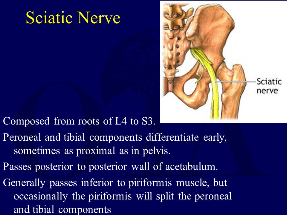Sciatic Nerve Composed from roots of L4 to S3.