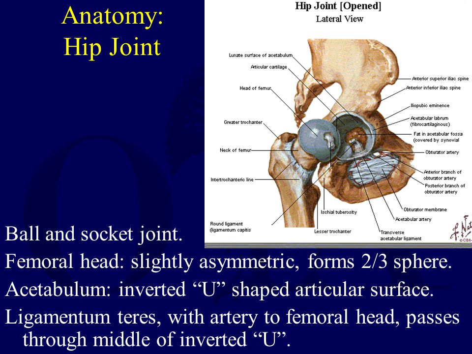 Anatomy: Hip Joint Ball and socket joint.