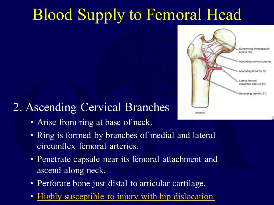 Blood Supply to Femoral Head