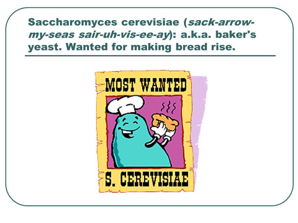Saccharomyces cerevisiae (sack-arrow-my-seas sair-uh-vis-ee-ay): a. k