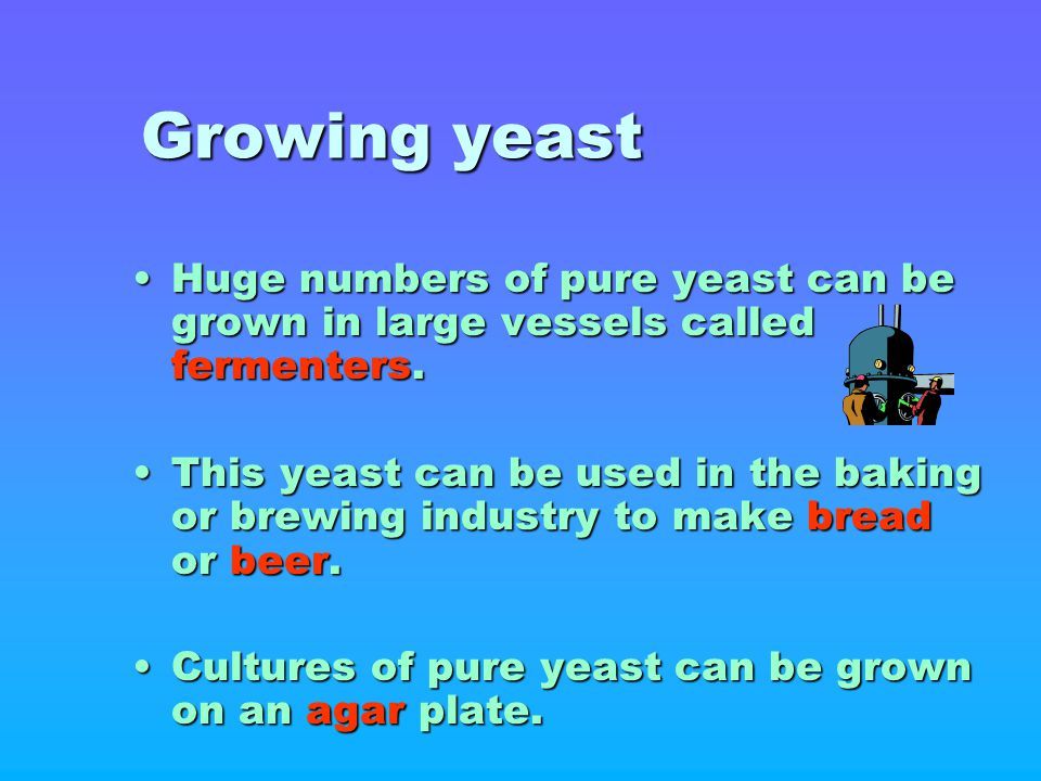 Growing yeast Huge numbers of pure yeast can be grown in large vessels called fermenters.