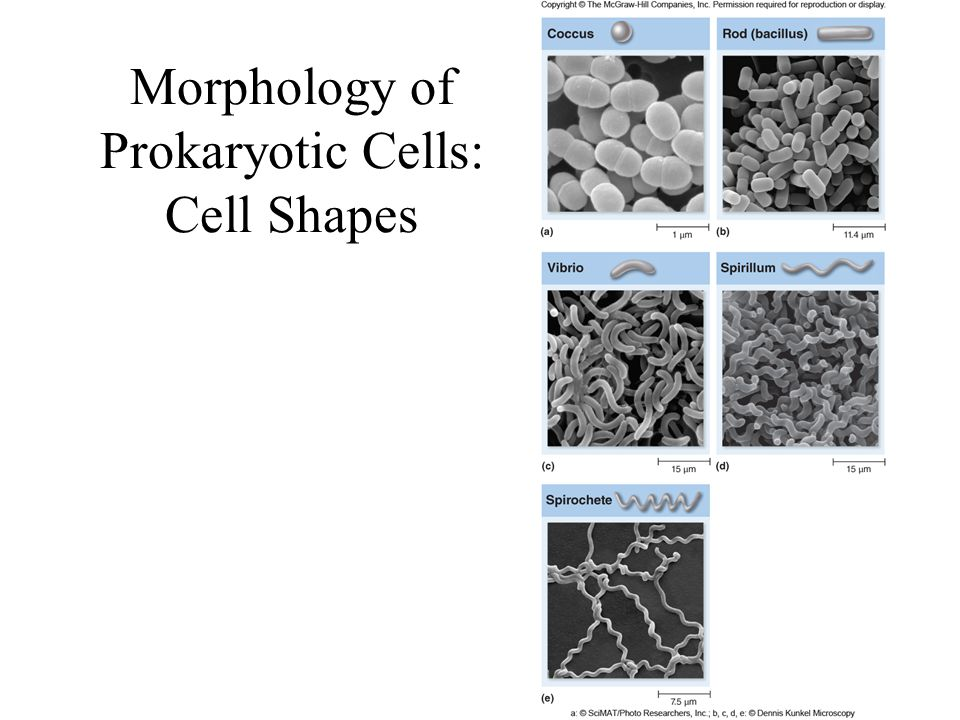 Morphology of Prokaryotic Cells: Cell Shapes