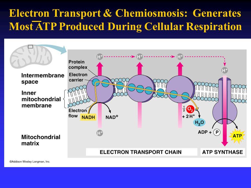 Electron Transport & Chemiosmosis: Generates