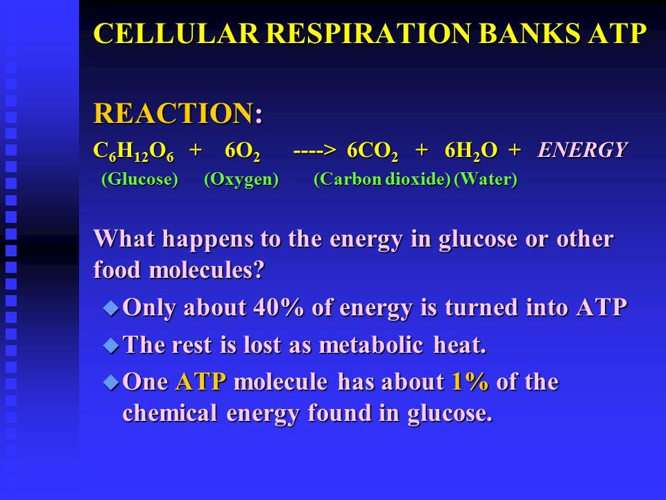 CELLULAR RESPIRATION BANKS ATP REACTION: