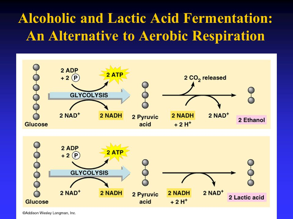 Alcoholic and Lactic Acid Fermentation: An Alternative to Aerobic Respiration