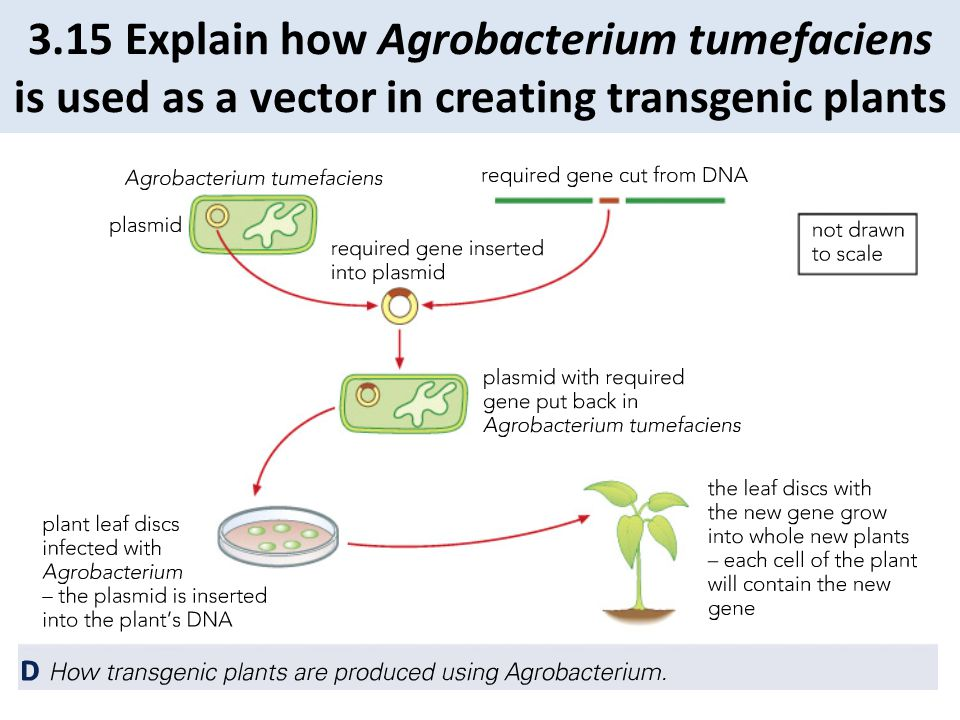 3.15 Explain how Agrobacterium tumefaciens is used as a vector in creating transgenic plants