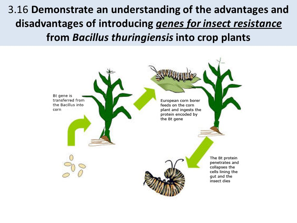 3.16 Demonstrate an understanding of the advantages and disadvantages of introducing genes for insect resistance from Bacillus thuringiensis into crop plants