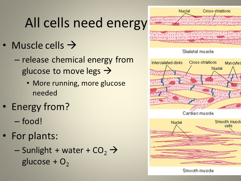 All cells need energy Muscle cells  Energy from For plants: