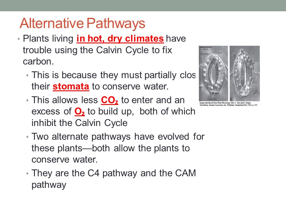 Alternative Pathways Plants living in hot, dry climates have trouble using the Calvin Cycle to fix carbon.