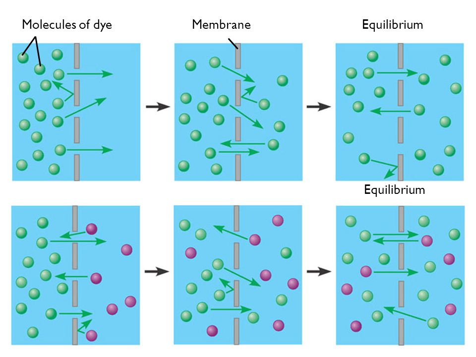 Equilibrium Membrane Molecules of dye