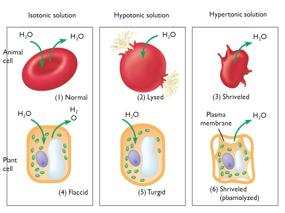 H2O Plasma membrane. (1) Normal. (2) Lysed. (3) Shriveled. (4) Flaccid. (5) Turgid. (6) Shriveled (plasmolyzed)