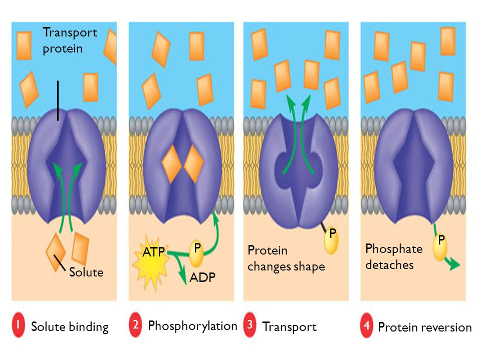 P Protein changes shape Phosphate detaches ATP ADP Solute