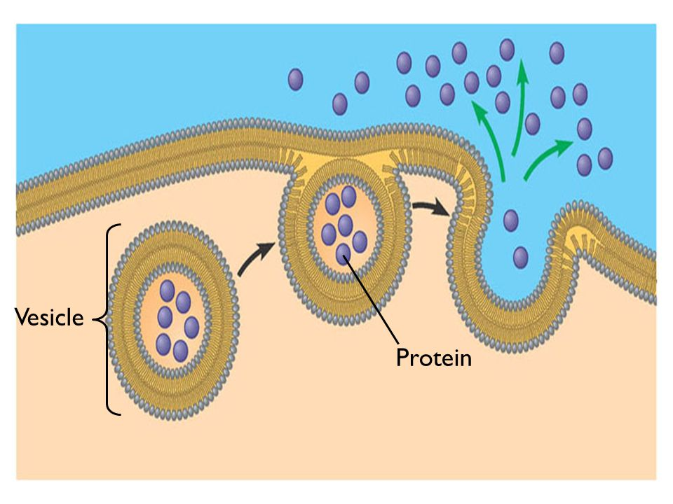 Protein Vesicle
