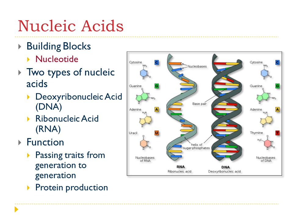 Nucleic Acids Building Blocks Two types of nucleic acids Function