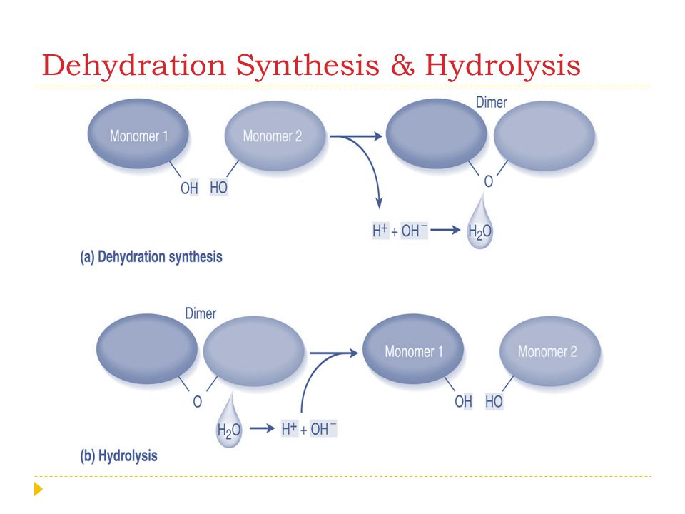 Dehydration Synthesis & Hydrolysis