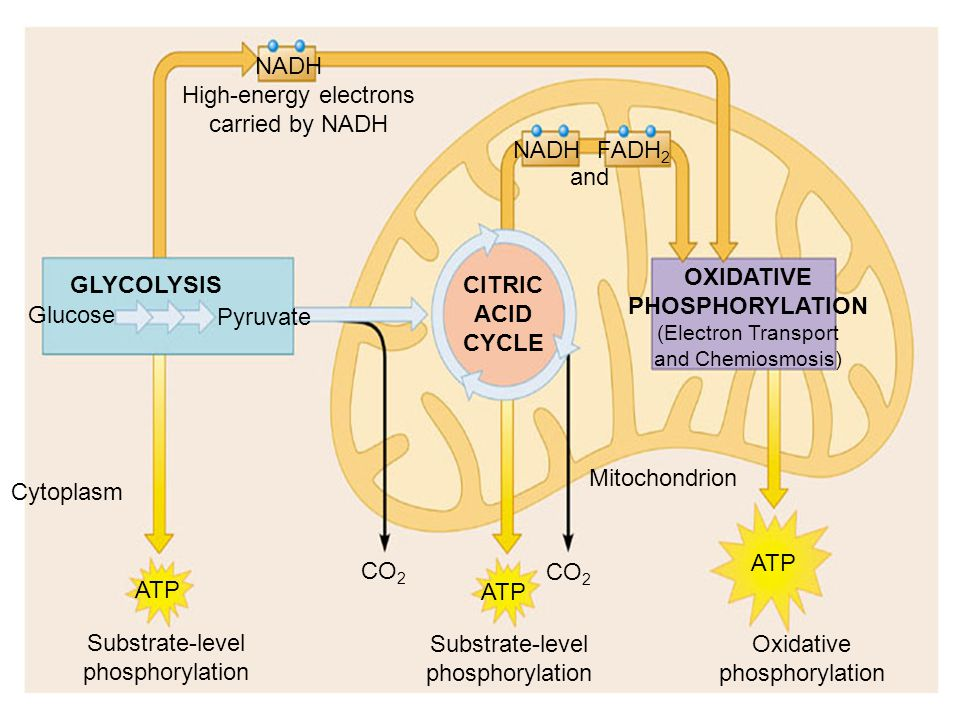 OXIDATIVE PHOSPHORYLATION (Electron Transport and Chemiosmosis)