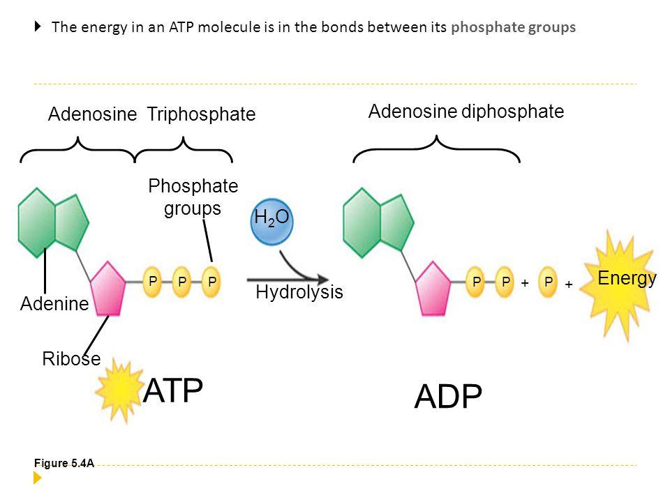 ATP ADP Adenosine diphosphate Adenosine Triphosphate Phosphate groups