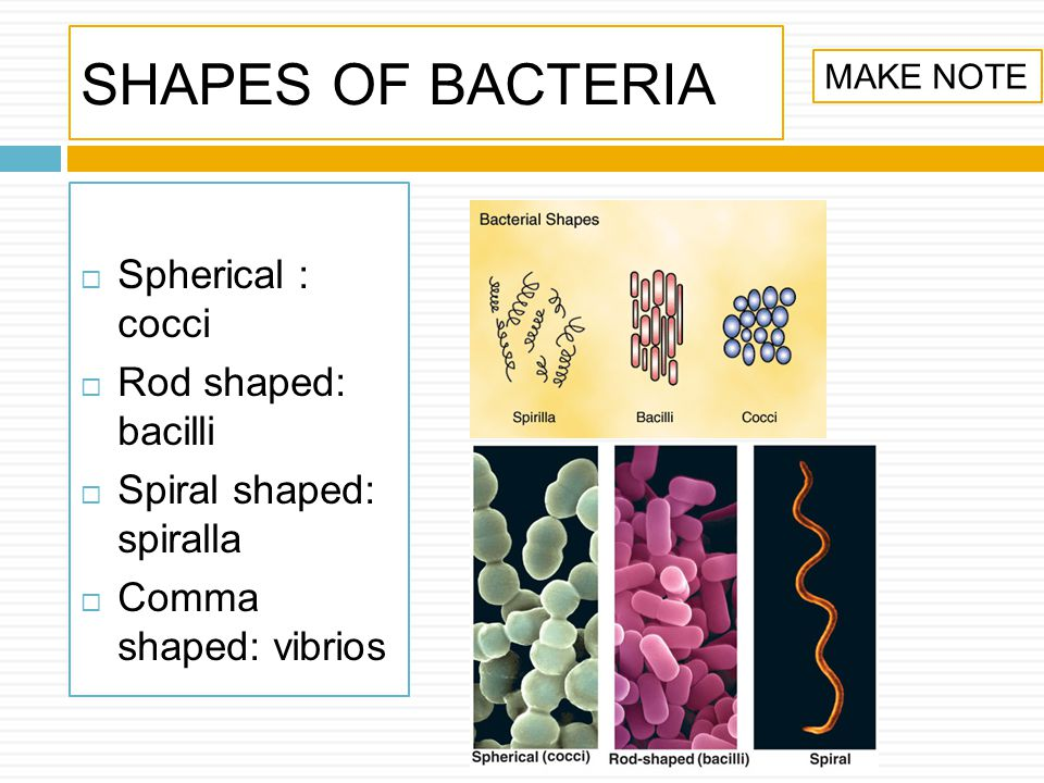 SHAPES OF BACTERIA Spherical : cocci Rod shaped: bacilli