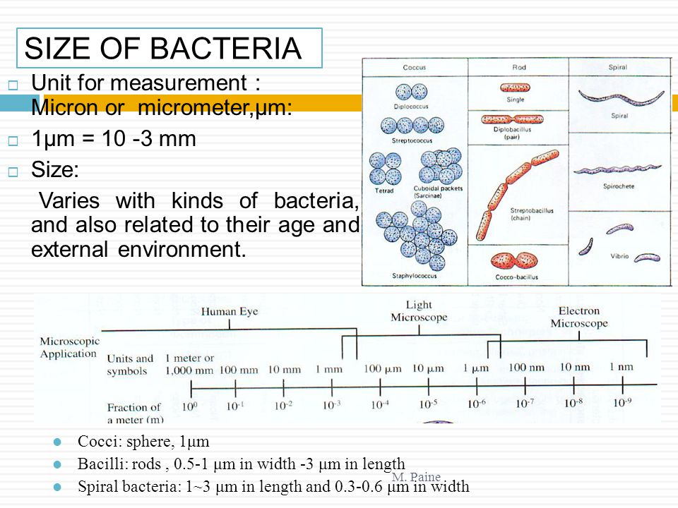 SIZE OF BACTERIA Unit for measurement : Micron or micrometer,μm:
