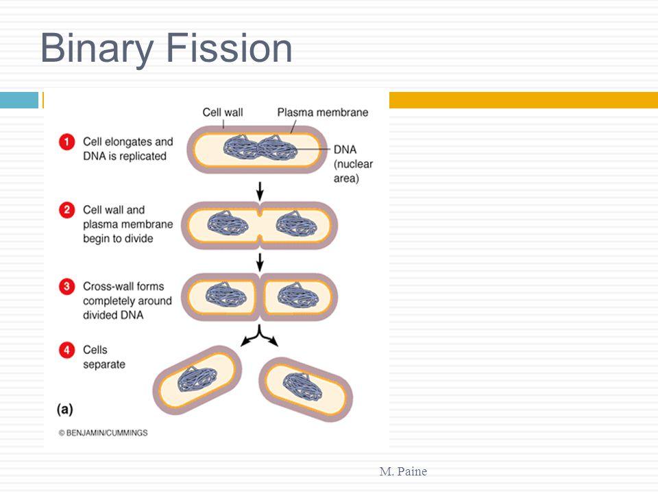 Binary Fission M. Paine
