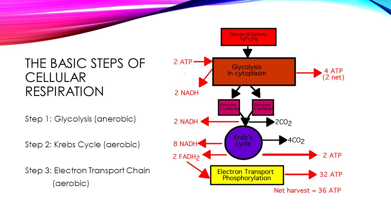 The basic Steps of Cellular Respiration